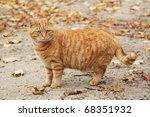 Stock photo ginger cat 68351932