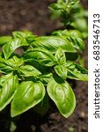 Fresh Basil Growing In The...