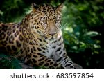 leopard | Shutterstock . vector #683597854