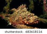 Scorpion Fish In The Underwater