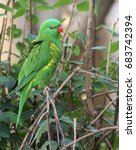 Female Superb Parrot Sitting O...