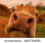 Curious Brown Cows Nose Closeu...