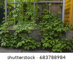 Small photo of Green vines of wild grapes entangle the pergola and grow upwards