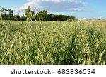 Small photo of Oats growing in field sway in wind