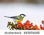 Stock photo cute bird bird on branch white snow background plant scarlet firethorn great tit parus major 683856688