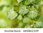 common green ivy closeup in... | Shutterstock . vector #683862109