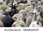 Back Shot Of Sheep And Goat...