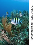 Small photo of Underwater off the coast of Roatan Honduras - Sergeant Major (Abudefduf saxatilis)