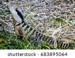 Thorny Lizard With Striped...