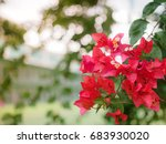 Bougainvillea Red Flower In Th...