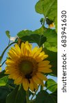 big yellow sunflower with a bee ... | Shutterstock . vector #683941630