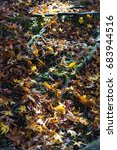 Ginkgo Leaves Fall  Filled The...