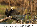 Little Pied Cormorant Drying...