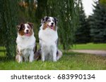 Two Australian Shepherd Dogs I...