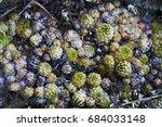 many green and blue sempervivum ... | Shutterstock . vector #684033148