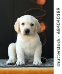 a little yellow labrador puppy... | Shutterstock . vector #684040189