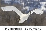 Trumpeter swan flies over pond in Jackson Hole Wyoming