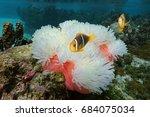 sea anemone heteractis... | Shutterstock . vector #684075034