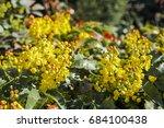 oregon grape  mahonia... | Shutterstock . vector #684100438