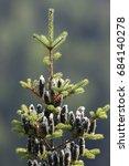 Small photo of Balsam fir, Abies balsamea in summer