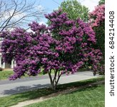 blooming summer purple crepe...   Shutterstock . vector #684214408