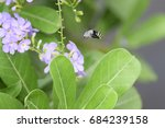 Small photo of Amegilla albigena flying on flowers,marco shot