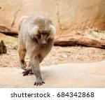 the hamadryas baboon   a... | Shutterstock . vector #684342868