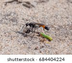 Small photo of Heath Sand Wasp (Ammophila pubescens) with larva grub prey to stock its burrow