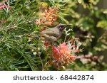 brown honeyeater bird on... | Shutterstock . vector #68442874