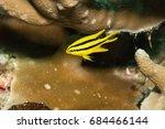 juvenile yellowtail damselfish  ... | Shutterstock . vector #684466144