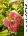 Small photo of Rose bush. Garden roses