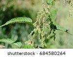 stinging nettle green grass