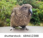 Stock photo the very rare kea alpine parrot bird from new zealand kea birds are in decline and are classes as 684612388