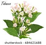 tobacco  nicotiana tabacum .... | Shutterstock .eps vector #684621688
