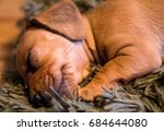 young and cute puppy of red... | Shutterstock . vector #684644080
