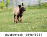 Stock photo belgian shepherd dog malinois puppy play young puppy playing 684649384