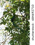 male quetzal in a tree in costa ... | Shutterstock . vector #684692710