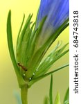 Small photo of Endangered species Gentiana pneumonanthe and Maculinea alcon and their host. Ant. Butterfly ´s egg.