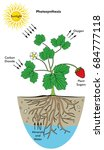 photosynthesis process... | Shutterstock .eps vector #684777118
