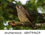 the common kestrel is a bird of ...   Shutterstock . vector #684794629