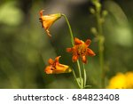 Small photo of Alpine Lily
