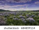 Summer lavender wildflowers in sagebrush below Wyoming Range Sublette County Wyoming