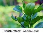 lemon tree. | Shutterstock . vector #684868450