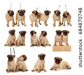 Stock photo collage puppies of pug isolated 684870748