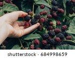 hand picking blackberries | Shutterstock . vector #684998659