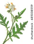 Solanum Sisymbriifolium  Common ...