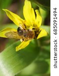 Small photo of Macro view of a fluffy striped and brown bee Andrena with wings on a wild goose onion plant with a yellow flower in early spring