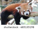 red panda resting on a branch.... | Shutterstock . vector #685135198