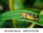 the common scorpionfly | Shutterstock . vector #685143238