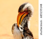 Small photo of Southern yellow-billed Horn bill preening
